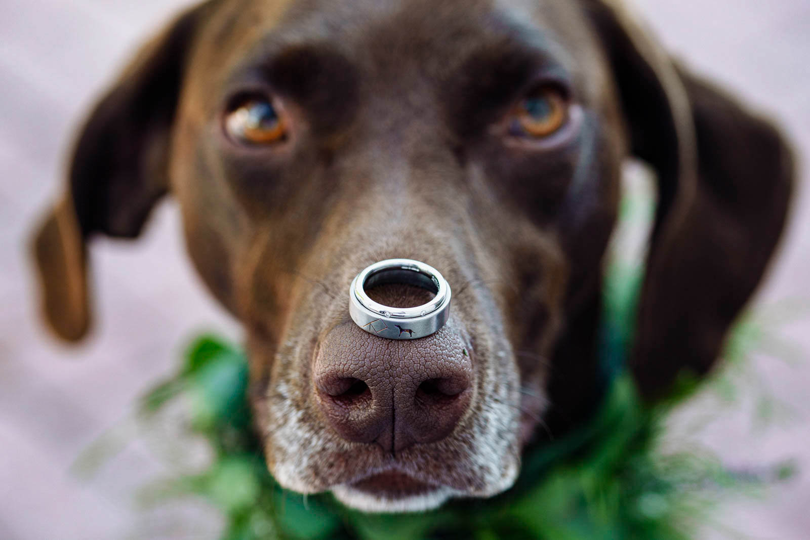 german shorthaired pointer balancing a wedding ring on her nose at Jabajak Vineyard in West Wales